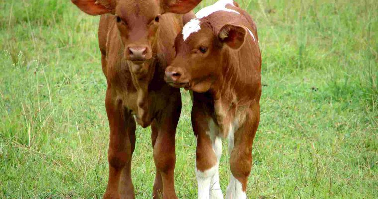 Petition against the high death rate of calves – NL