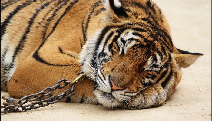 Tigers aren't pets