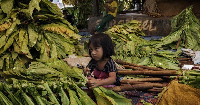 Children in harmful tobacco farming