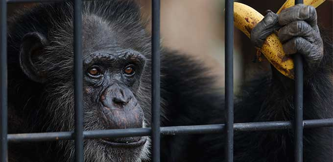 Judge Orders Chimp to be Freed From Zoo