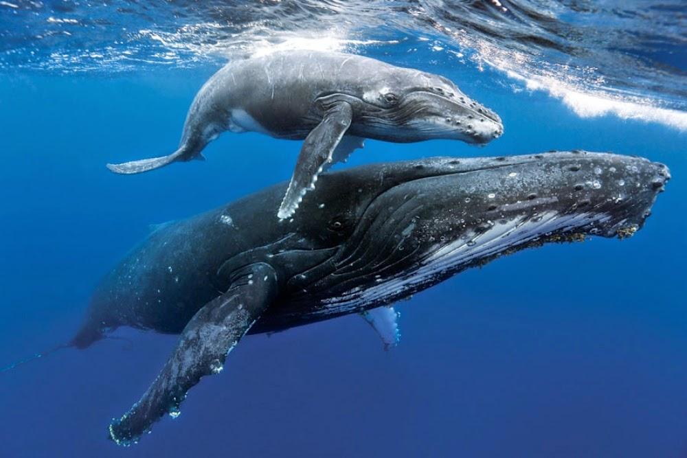 Humpback whale fun facts!