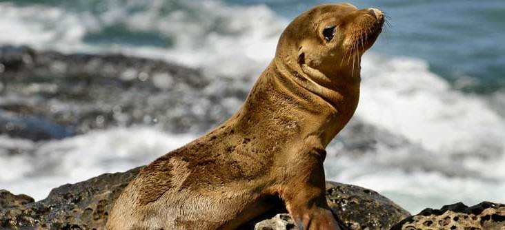 Surfing instructor in Santa Cruz rescues sea lion pup