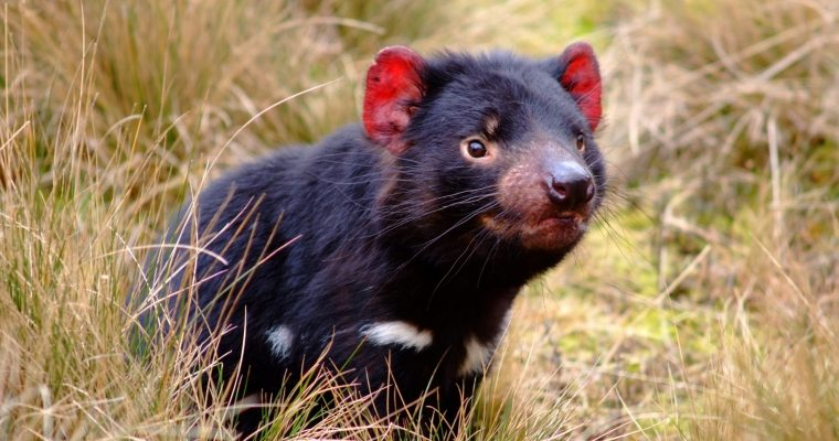 Save Tasmania's Forests and Rare and Endangered Wildlife