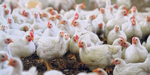 Sign to stop the inhumane killing of chickens when there is a flu