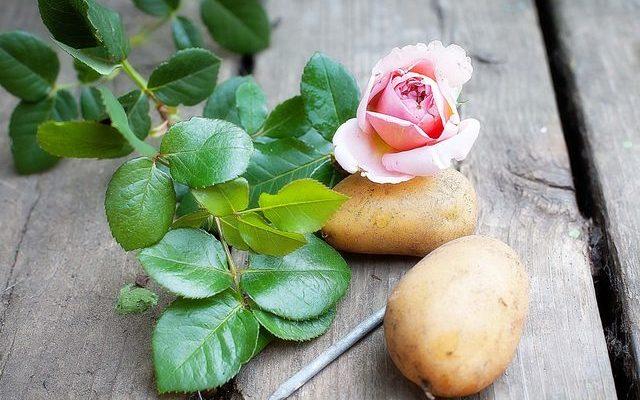 A rose in a potato