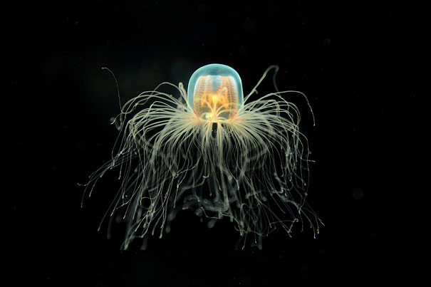 Fun Fact: Immortal jellyfish